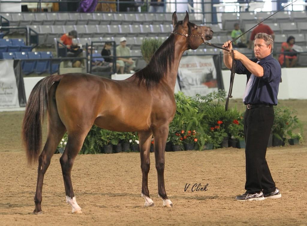Arabian for sale JLS Jameela Phoenix
