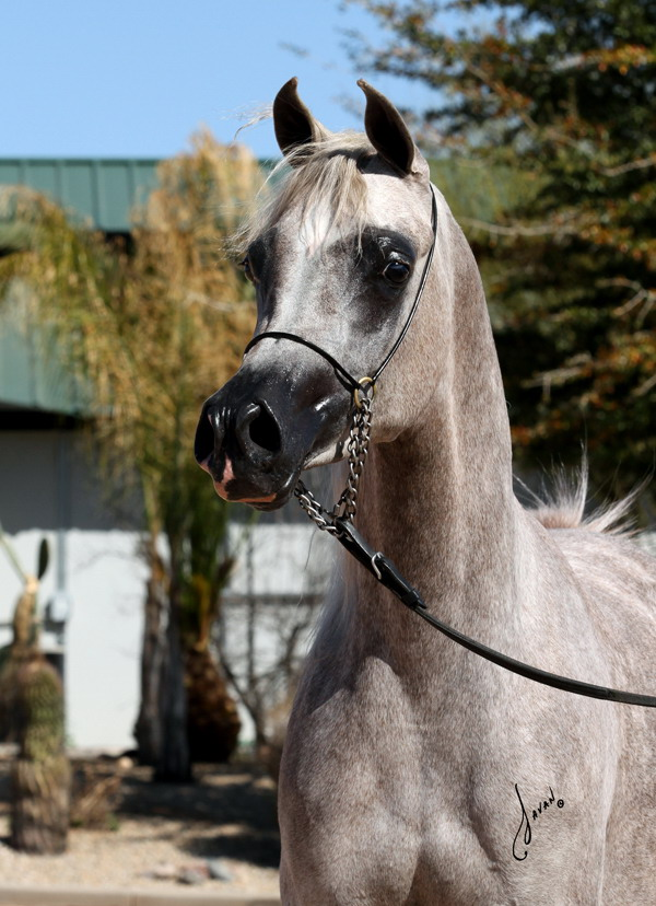 Arabian For Sale Bella Jade BVA