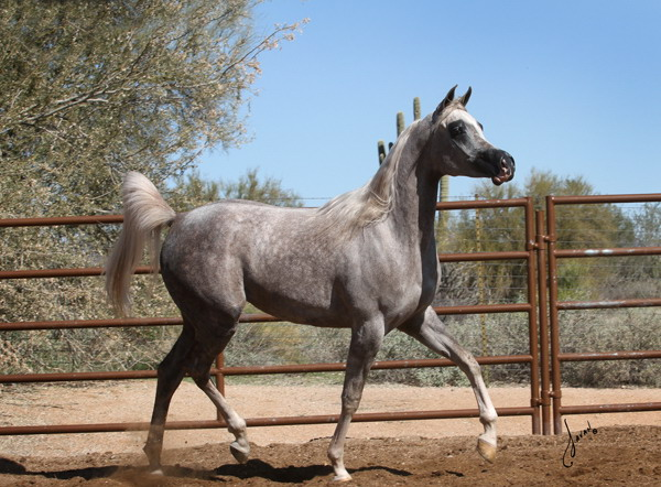Arabian For Sale Bella Jade BVA trot