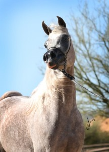 Arabian For Sale Bella Jade BVA pose